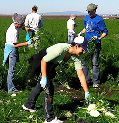 Erica Arroyo-Ramirez (center) and other members of the November Salinas immersion glean fennel.
